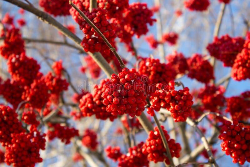 Serbal rojo del invierno fotos de archivo