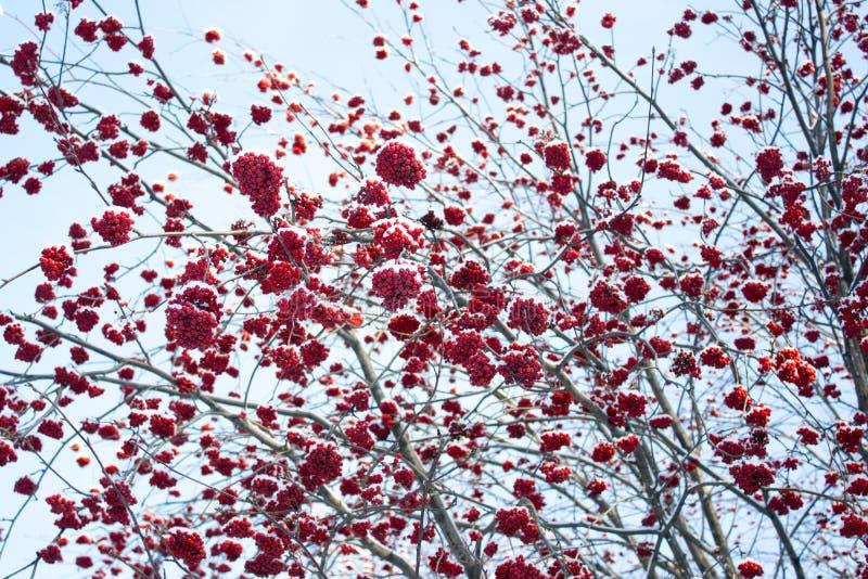 Serbal rojo del invierno foto de archivo