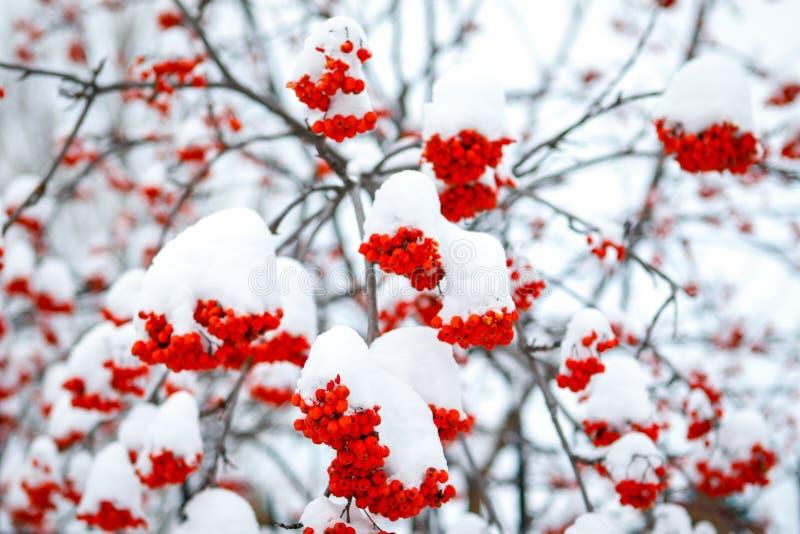 Serbal rojo y primera nieve fotografía de archivo