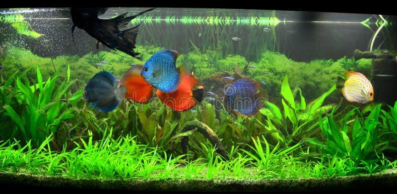 Serbatoio di pesci esotico - acquario amazzoniano immagine stock