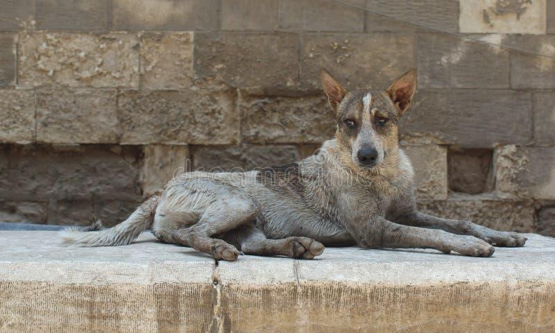 Serce łamający osamotniony pies w Egypt obraz stock