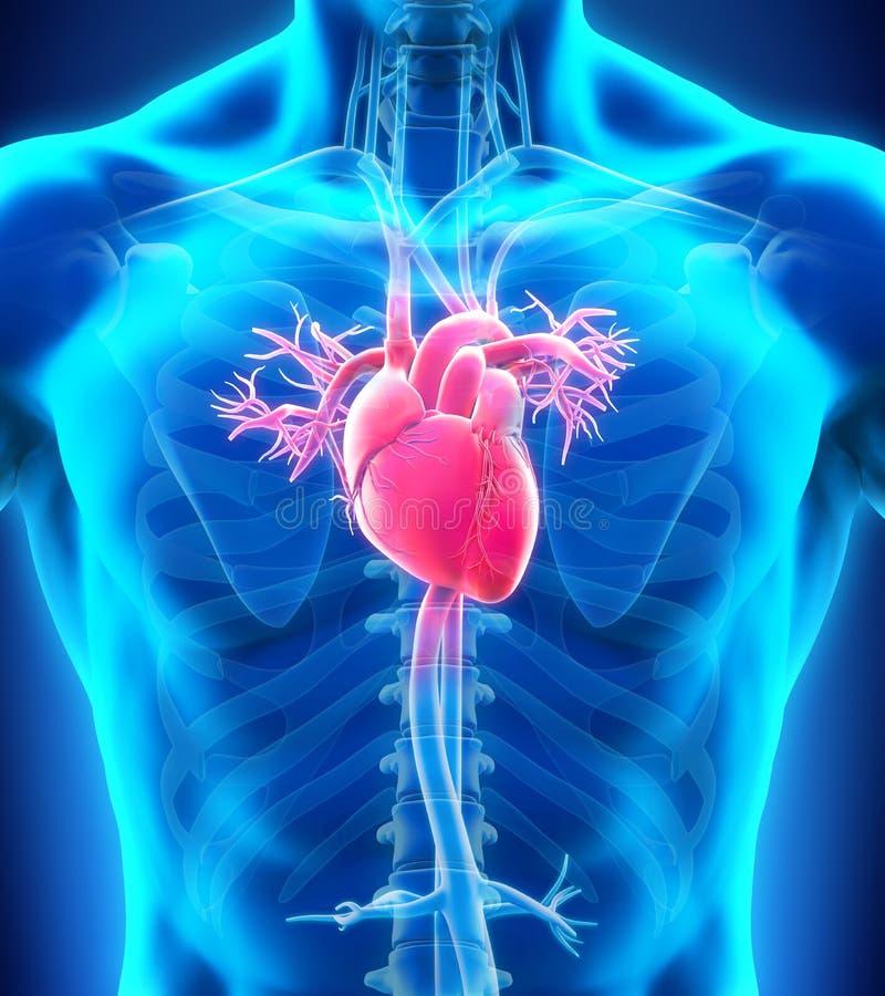 serce człowieka ręce anatomii oryginał ilustracyjny malowaniu royalty ilustracja