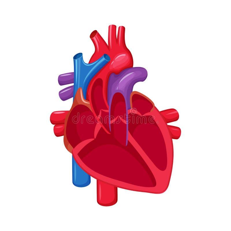 serce człowieka ręce anatomii oryginał ilustracyjny malowaniu ilustracja wektor