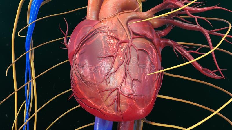 serce człowieka ręce anatomii oryginał ilustracyjny malowaniu fotografia stock