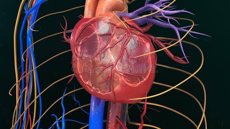 serce człowieka ręce anatomii oryginał ilustracyjny malowaniu obrazy royalty free
