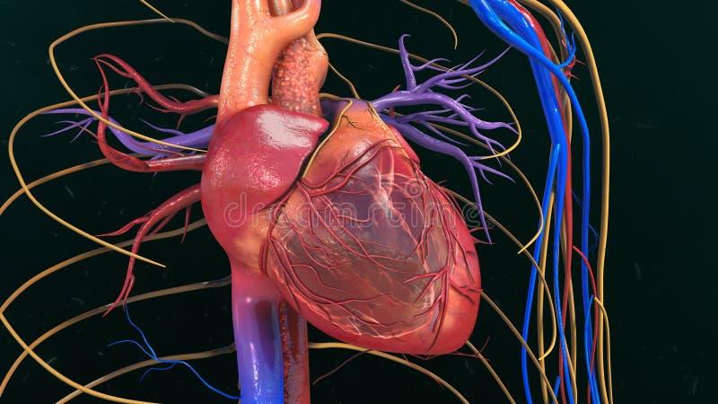 serce człowieka ręce anatomii oryginał ilustracyjny malowaniu zdjęcia stock