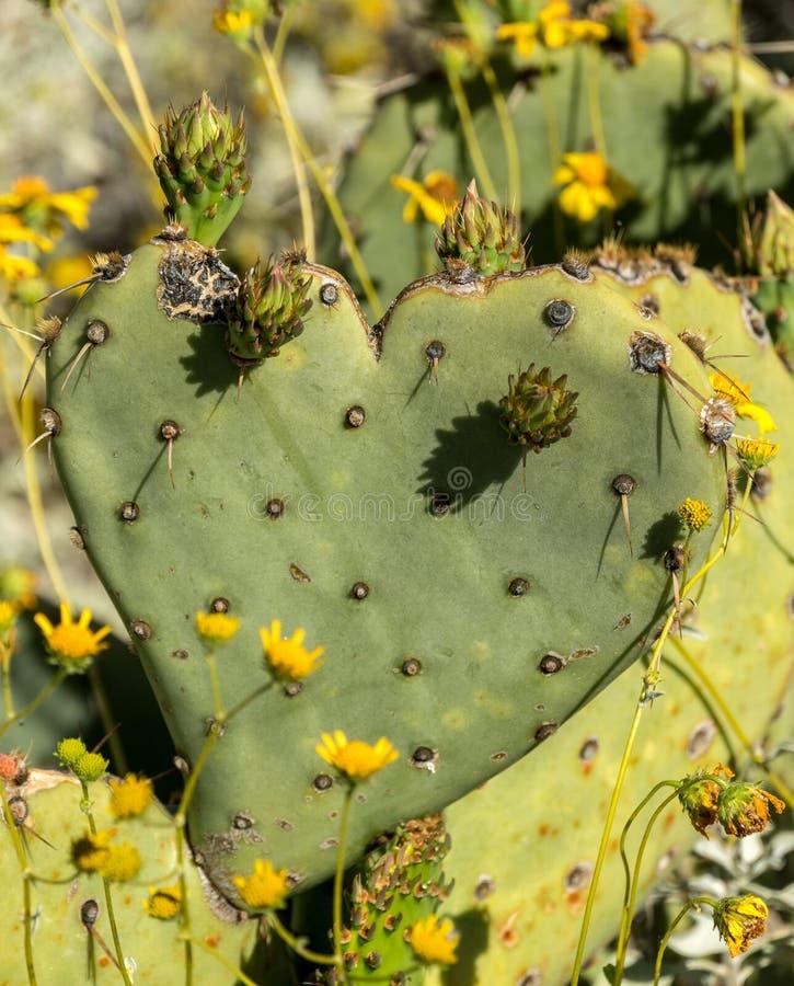 Serce kształtny kaktusowy liść fotografia stock