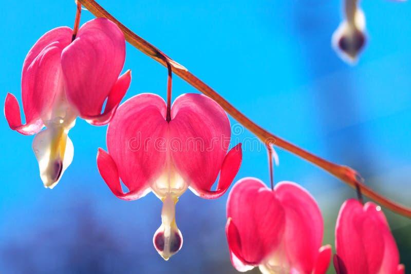 Serce kształtował różowych i białych kwiaty Krwawiący serce lyrebird obrazy royalty free