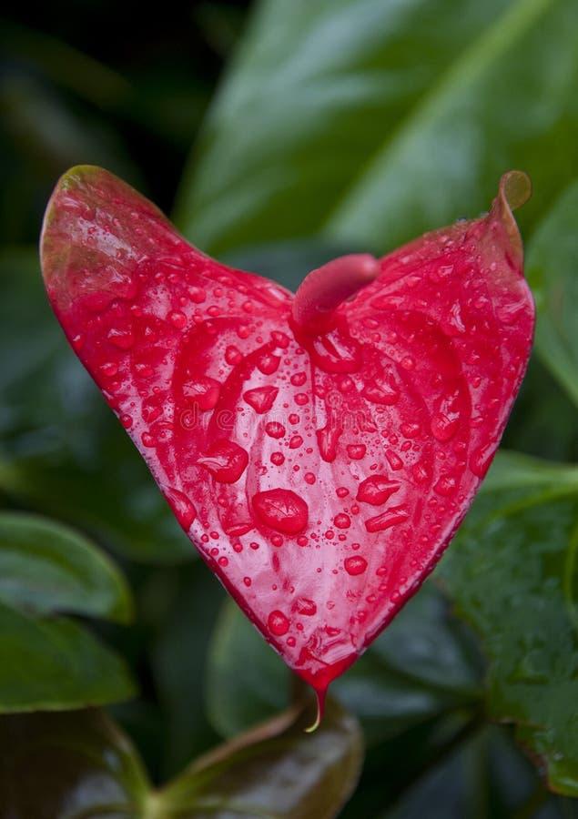 Serce Kształtująca Anthurium roślina zdjęcie stock