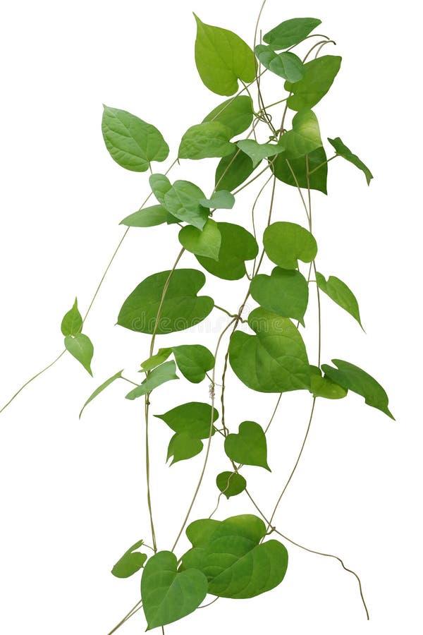 Serce kształtująca zieleń opuszcza wspinaczkowych winogrady odizolowywa na białym backg zdjęcie stock