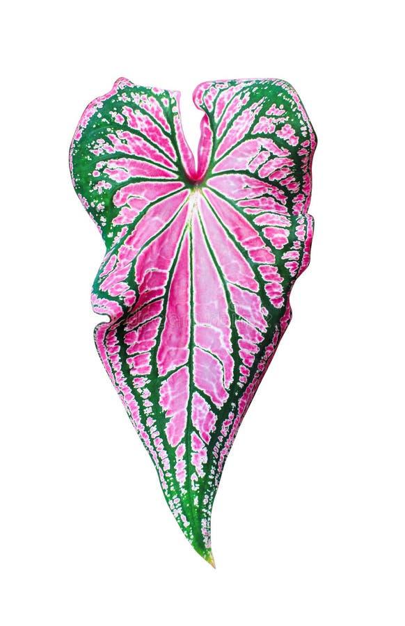 Serce kształtujący opuszcza wzory tekstura, kolorowa natury królowa obfitolistne rośliny odizolowywać na białym tle z ścinek ście fotografia royalty free