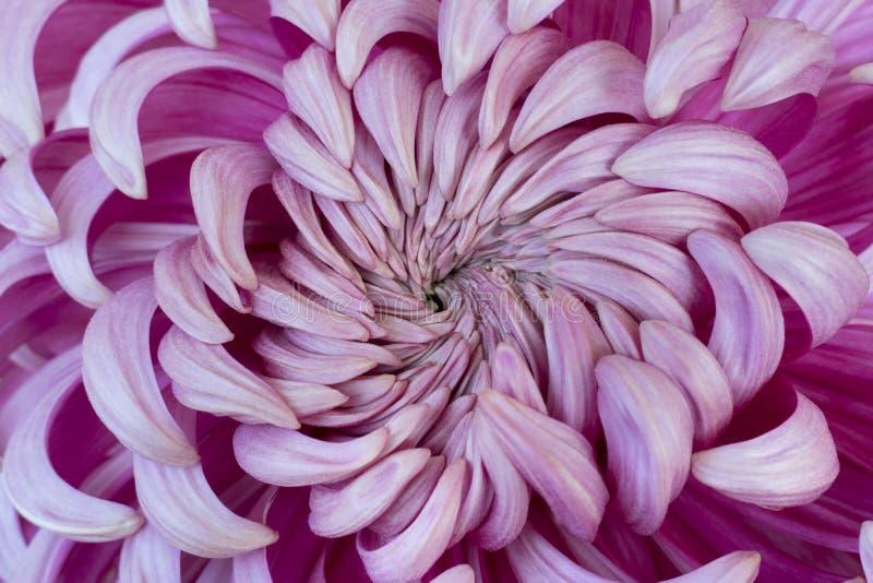 Serce różowa chryzantema zdjęcie stock