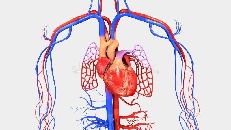 Serce z krążeniowym systemem ilustracja wektor