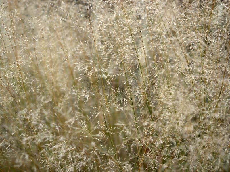 sere filigree gräs för closeup royaltyfria bilder