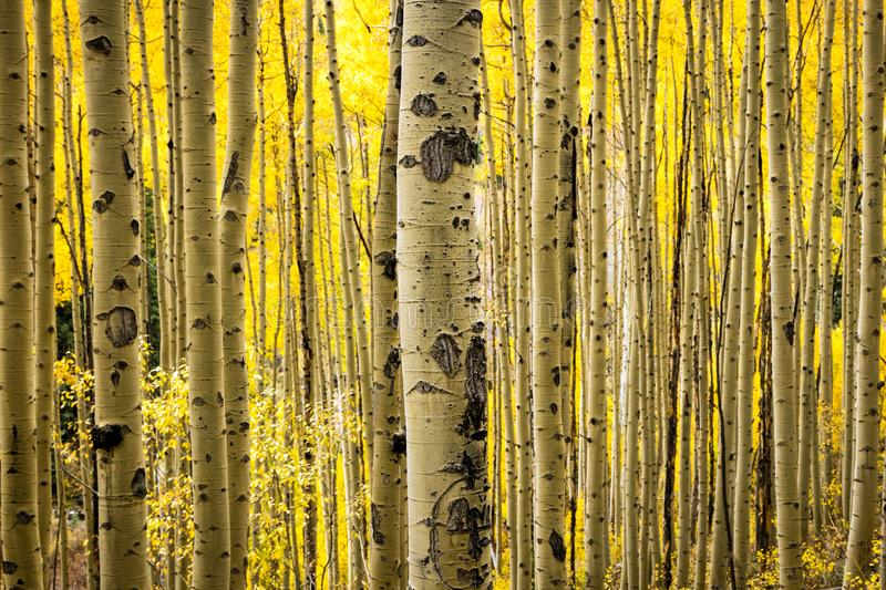 Serene golden aspens image, Colorado, USA. Golden aspens near Ridgeway, Colorado, USA stock photo