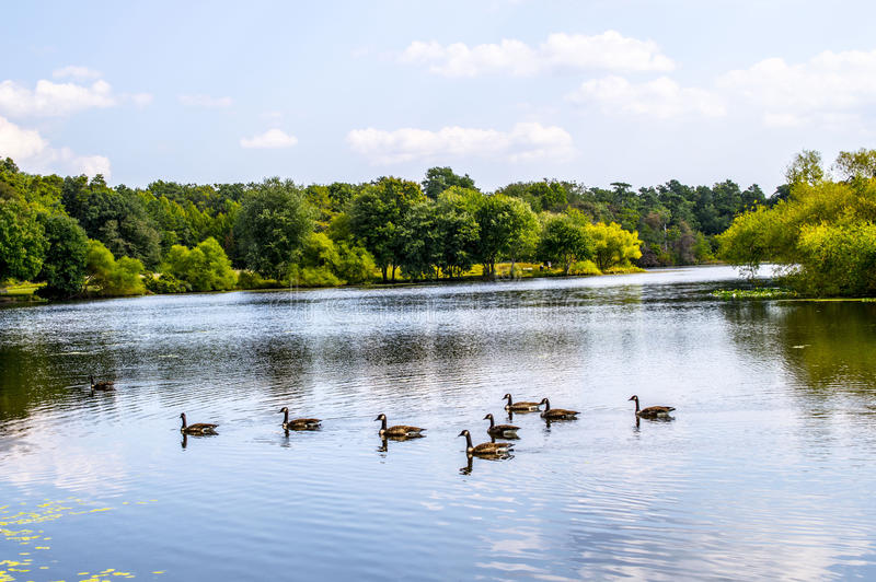 Serene lake with ducks. Ducks on Turkey Swamp Lake on a very sunny day in Monmouth County NJ stock images