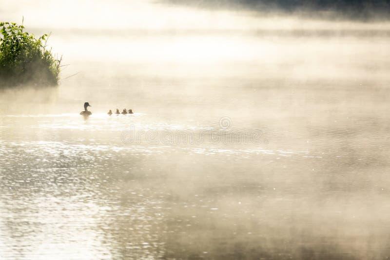 Serene Misty Sunrise mientras este Mallard Hen y los patos bebés nadan juntos a través del lago fotografía de archivo libre de regalías