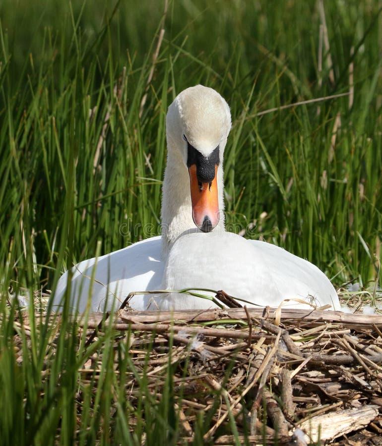 Serene Mute Swan Sitting On um ninho fotografia de stock