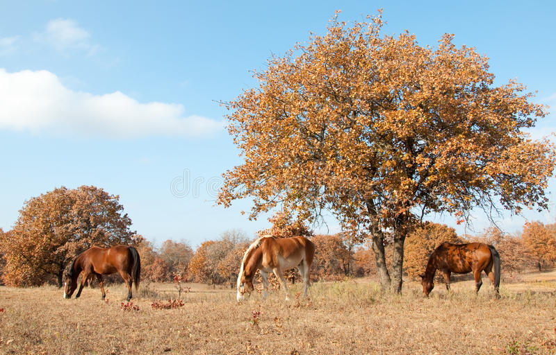 Download Serene Scene Of Three Horses Grazing In Au Stock Photos - Image: 20946803