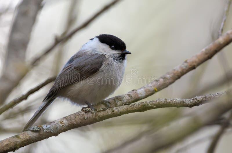 Serene Wiilow Tit que senta-se em ramos pequenos na floresta adiantada da mola foto de stock royalty free
