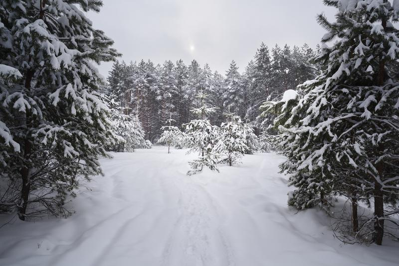 Serene winter landscape. Empty path in deep snow in coniferous forest in sullen day stock photos