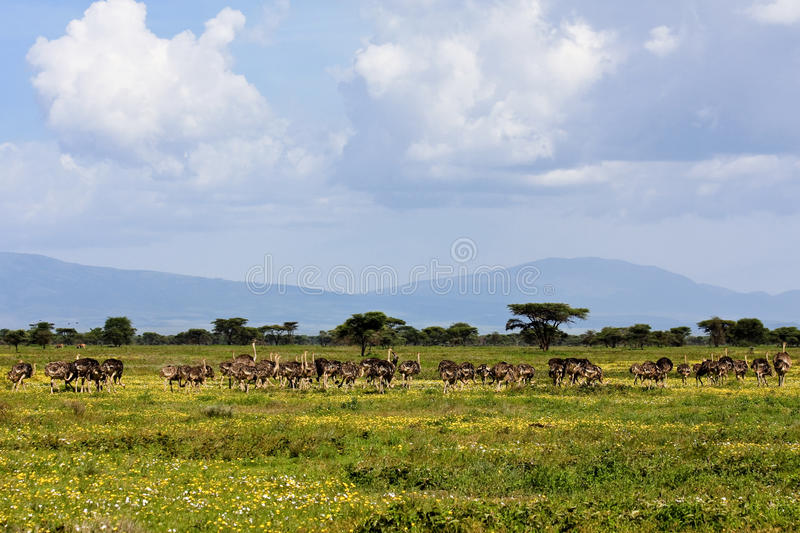 serengeti στρουθοκαμήλων κοπα&de στοκ φωτογραφία