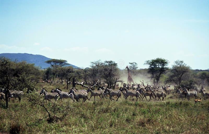serengeti Τανζανία του NP κοπαδιών φ στοκ εικόνες με δικαίωμα ελεύθερης χρήσης