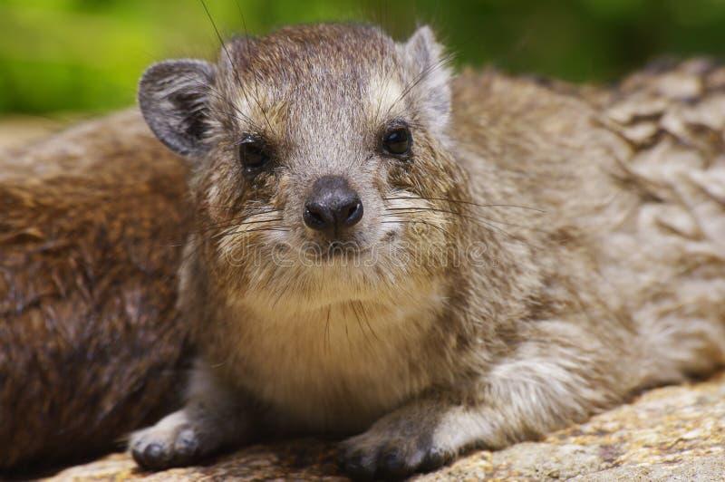 serengeti национального парка hyrax утесистое стоковые изображения