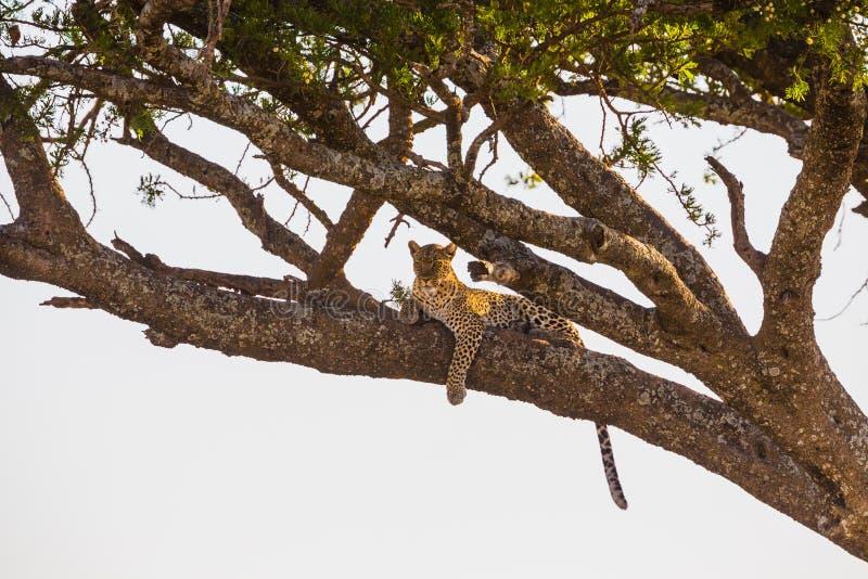 Υπόλοιπα λεοπαρδάλεων σε ένα δέντρο μετά από το γεύμα στοκ φωτογραφία με δικαίωμα ελεύθερης χρήσης