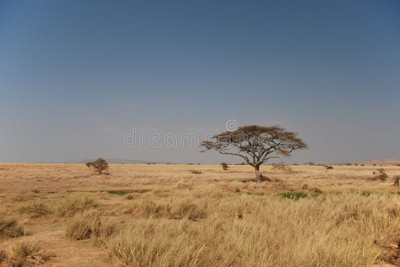 serengeti d'horizontal photos libres de droits