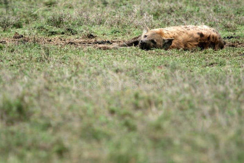 serengeti d'hyène de l'Afrique photos stock