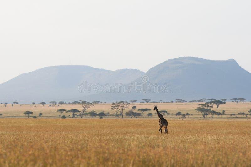 serengeti giraffe стоковое изображение