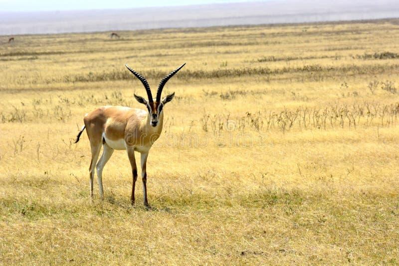 Serengeti - Grants Gazelle stockbilder