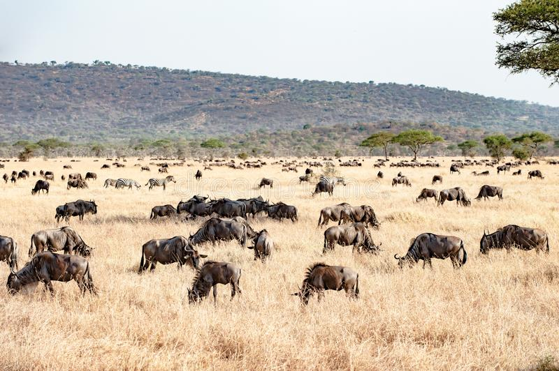 The Serengeti with hundrets of grazing wildebeests stock images