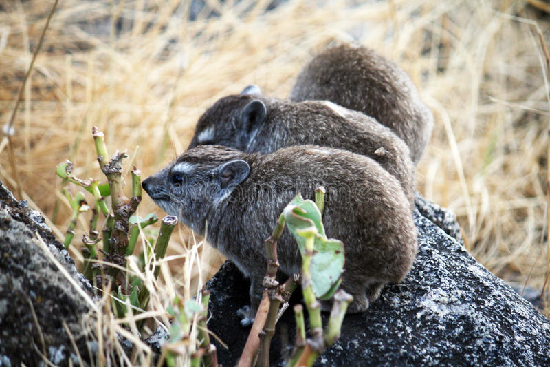 Serengeti hyrax. A family of rock hyrax in the serengeti park in tanzania royalty free stock photography