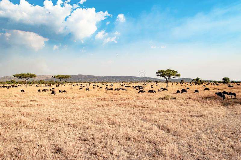 The Serengeti - landscape with blue sky and white clouds, dried grass, acacia trees and hundrets of wildebeests stock photo