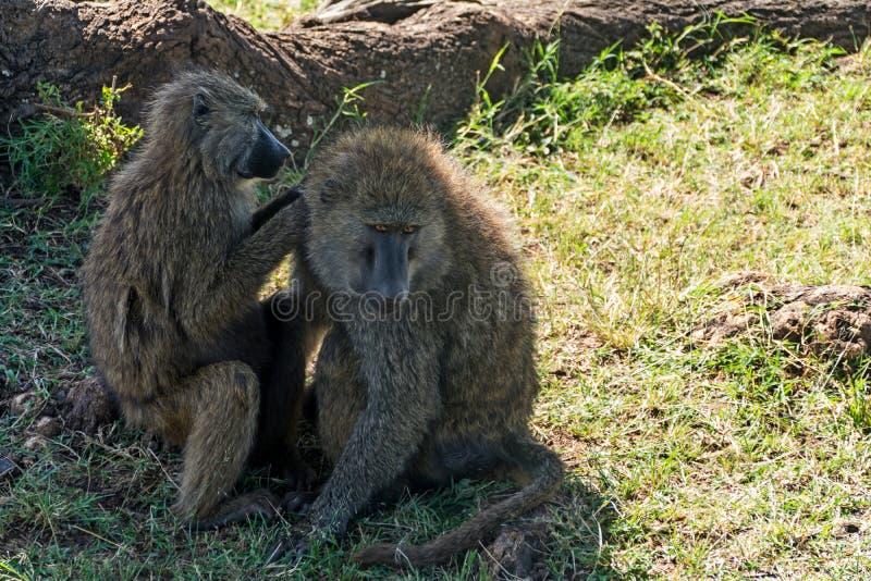 Serengeti National Park, Tanzania - Baboons Grooming. The Serengeti National Park is a Tanzanian national park in the Serengeti ecosystem in the Mara and Simiyu royalty free stock photos