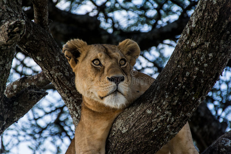 Serengeti National Park, Tanzania - Female Lion in Tree stock photo