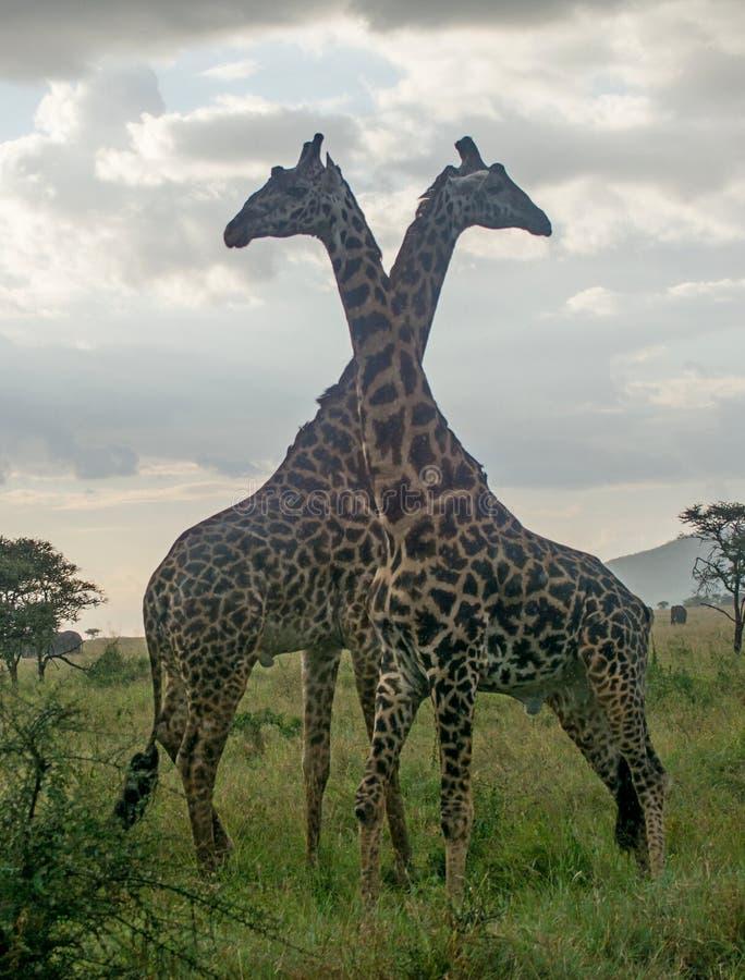 Serengeti National Park, Tanzania - Giraffes. The Serengeti National Park is a Tanzanian national park in the Serengeti ecosystem in the Mara and Simiyu regions royalty free stock photos