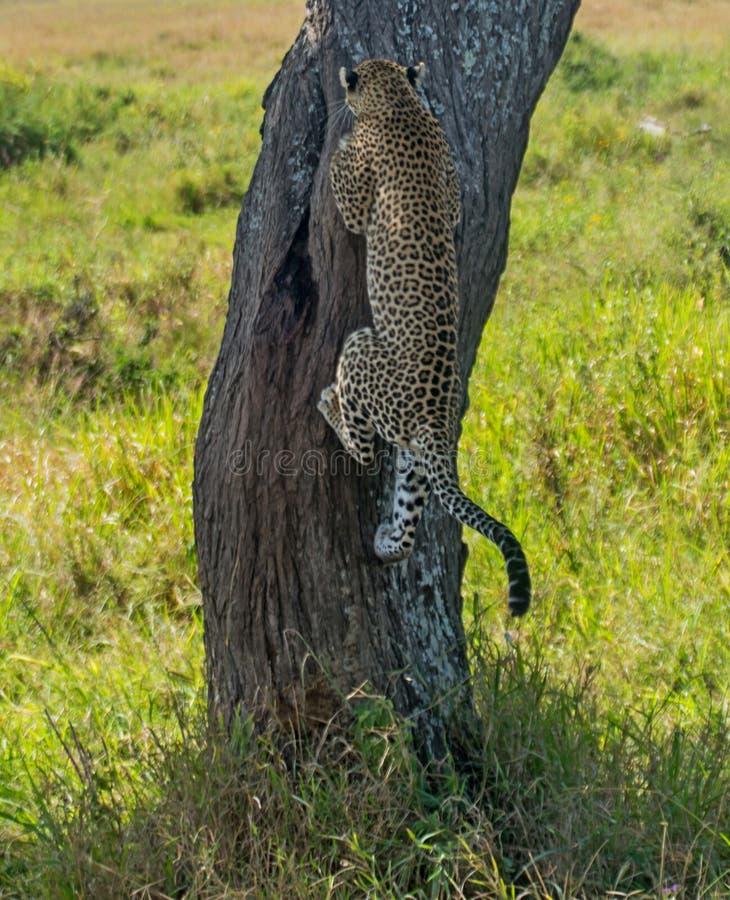 Serengeti National Park, Tanzania - Leopard climbing tree. The Serengeti National Park is a Tanzanian national park in the Serengeti ecosystem in the Mara and stock photos