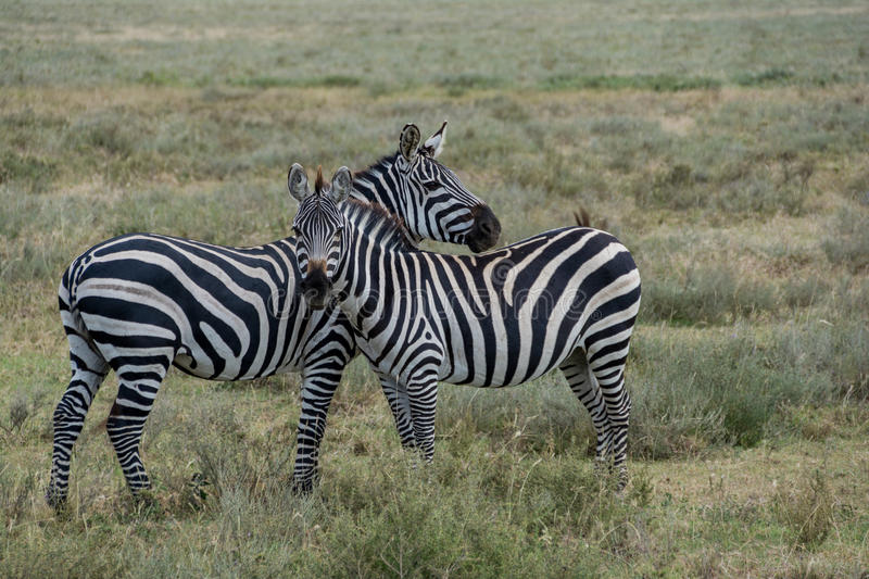 Serengeti National Park, Tanzania - Zebras stock photos