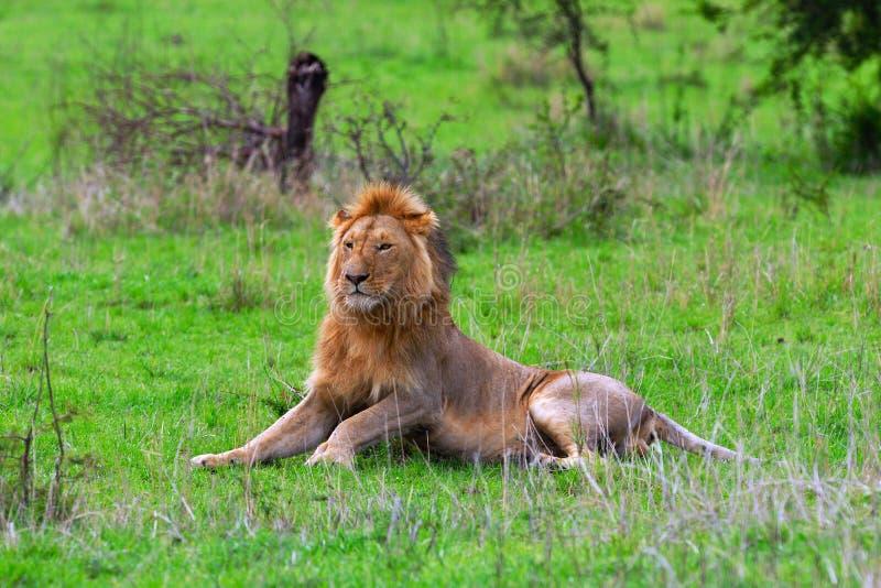 serengeti ordinaire mâle de lion photos stock