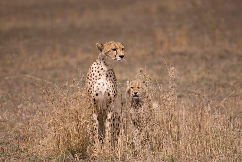 serengeti tanzania för park för cheetahgröngölingmoder arkivbilder