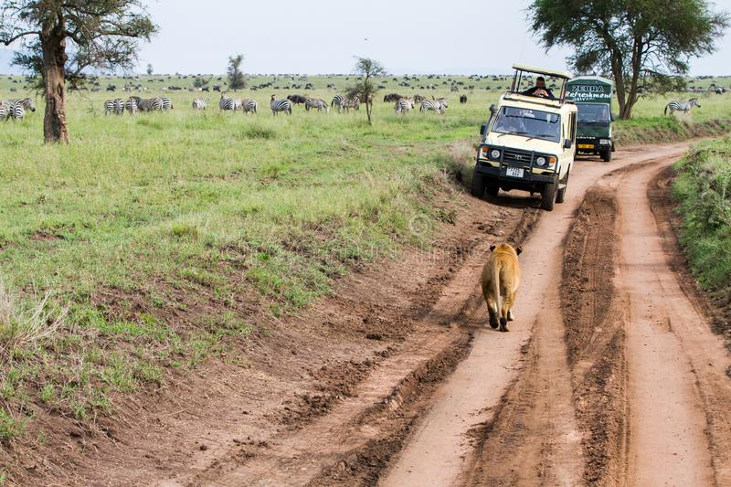 East African lionesses Panthera leo hunting. SERENGETI, TANZANIA - JANUARY, 02: Safari car with tourists looking at East African lionesses Panthera leo, species royalty free stock images