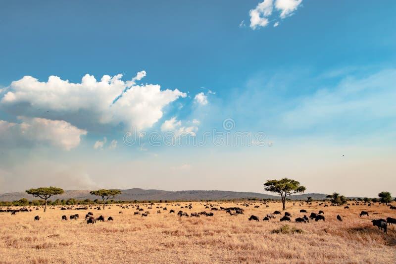 Serengetien - landskap med blå himmel och vita moln, torkat gräs, akaciaträd och hundrets av gnu arkivfoton