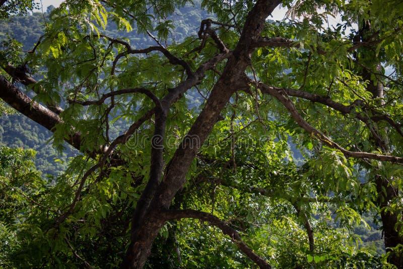 Serenvy av ett träd med stora grenar som täcker spadvägen på väg till Yercaud, Salem, Indien arkivbilder