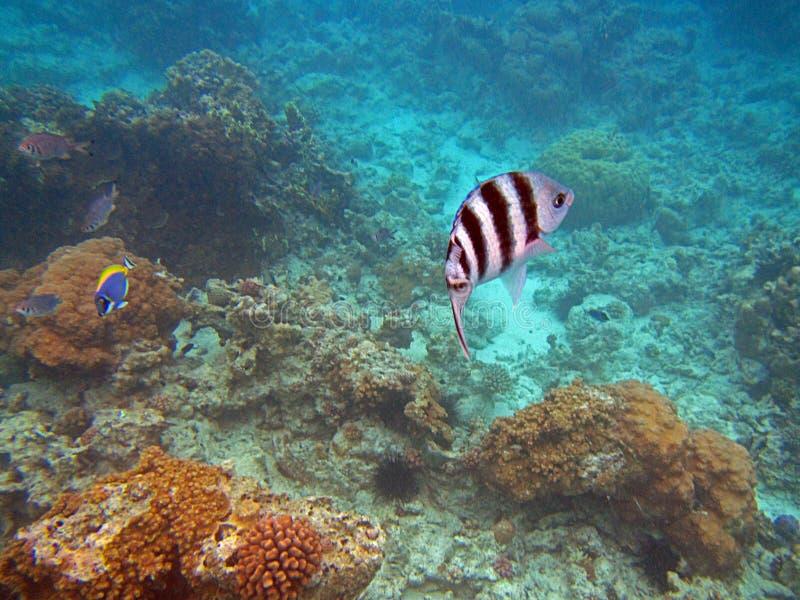 Sergent Fish photo stock