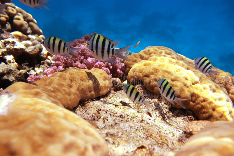 sergente рифа maggiore стоковая фотография
