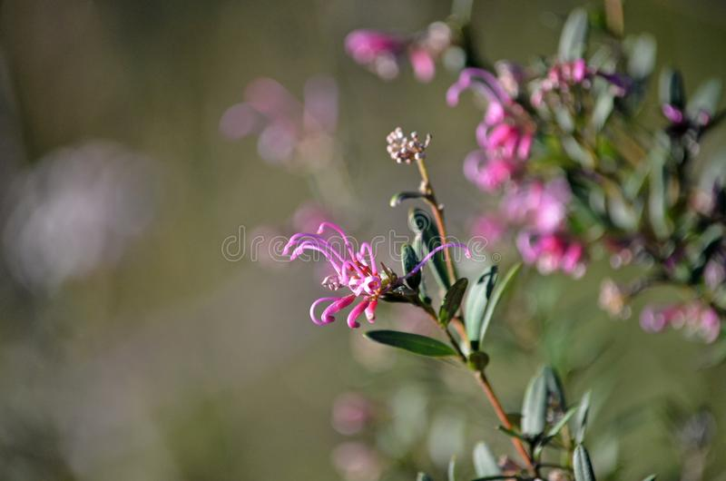 Sericea rosa indigeno australiano di Grevillea del fiore di ragno fotografia stock