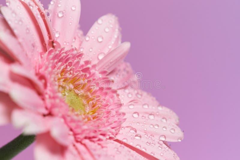 Serie розового цветка gerbera с падениями воды стоковые изображения rf